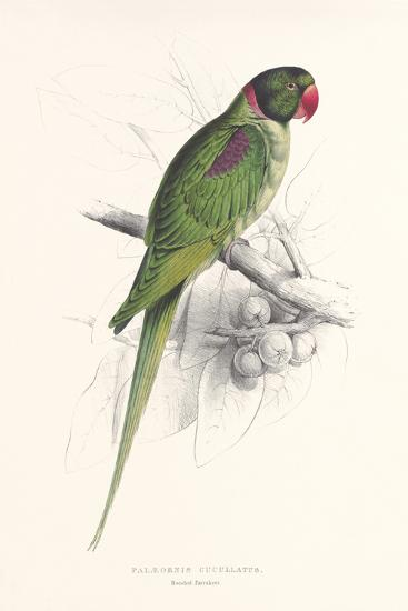 Hooded Parakeet-Edward Lear-Premium Giclee Print