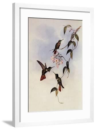 Hooded Vizor-Bearer, Augastes Lumachellus-John Gould-Framed Giclee Print
