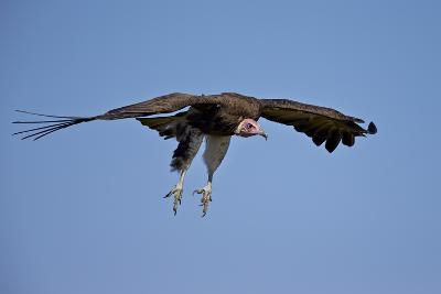 Hooded Vulture (Necrosyrtes Monachus) in Flight on Approach to Landing-James Hager-Photographic Print