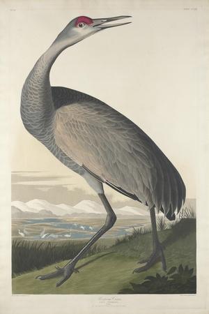 https://imgc.artprintimages.com/img/print/hooping-crane-1835_u-l-q1byg8l0.jpg?p=0