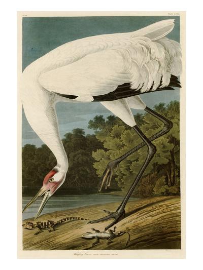 Hooping Crane-John James Audubon-Giclee Print
