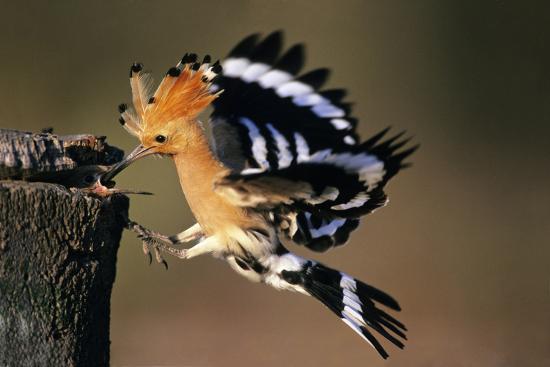 Hoopoe Bird Feeding Young in Flight--Photographic Print
