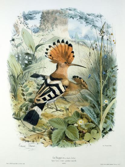 Hoopoe (Upupa Epops) (Colour Litho)-Edouard Travies-Giclee Print
