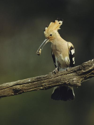 Hoopoe with an Insect in its Bill Perched on a Tree Limb-Klaus Nigge-Photographic Print