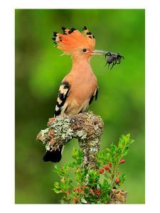 Hoopoe with Spider