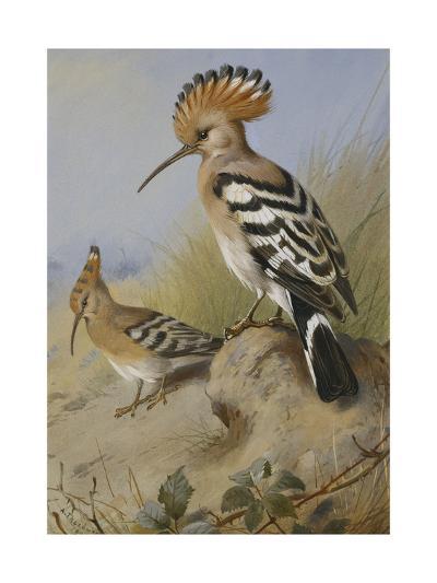 Hoopoes-Archibald Thorburn-Giclee Print