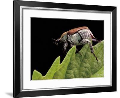 Hoplia Coerulea (Scarabaeid Beetle) - Female-Paul Starosta-Framed Photographic Print