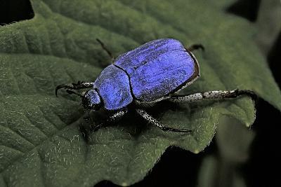 Hoplia Coerulea (Scarabaeid Beetle) - Male-Paul Starosta-Photographic Print