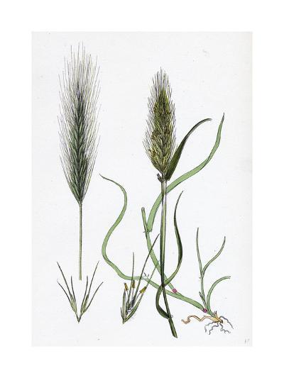 Hordeum Murinum Wall Barley--Giclee Print