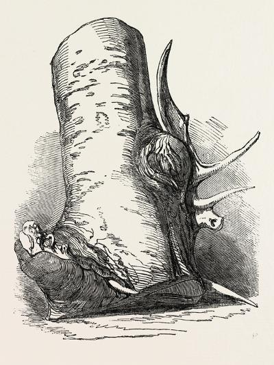 Horn of Deer Found in a Beech Tree in Canada West--Giclee Print