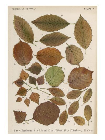 Hornbeam, Hazel, Birch, Barberry and Alder Tree Leaves in Autumn Colours--Giclee Print