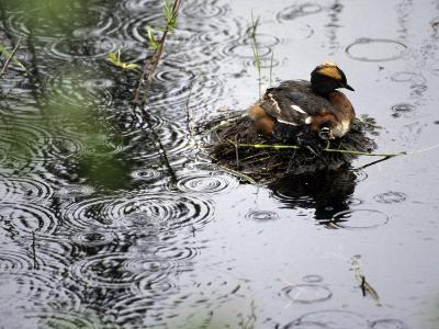 Horned Grebe on Boreal Pond with Baby in a Rainstorm-Michael S^ Quinton-Photographic Print