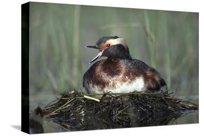 Horned Grebe parent calling while incubating eggs on floating nest, North America-Tim Fitzharris-Stretched Canvas Print
