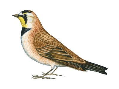 Horned Lark (Eremophila Alpestris), Birds-Encyclopaedia Britannica-Art Print