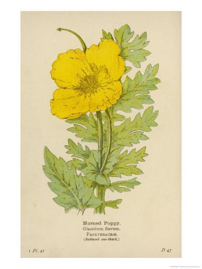 Horned Poppy-Mabel E. Step-Giclee Print