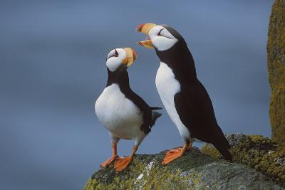 Horned Puffin Pair on Ledge with One Calling in Courtship Display-Design Pics Inc-Photographic Print