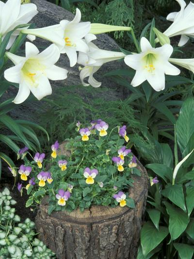 Horned Violet and Easter Lily-Adam Jones-Photographic Print