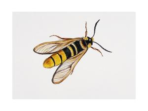 Hornet Moth or Hornet Clearwing (Sesia Apiformis), Sesiidae. Artwork by Brin Edward