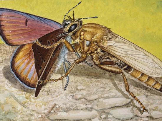 Hornet Robberfly (Asilus Crabroniformis), Asilidae--Giclee Print