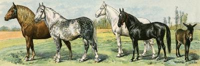 Horse Breeds: Belgian and Percheron Draft Horses, a Trotter, An Arabian, and a Donkey--Giclee Print