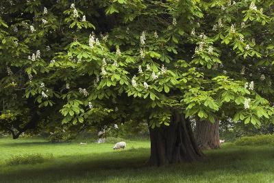 Horse Chestnut (Aesculus Hippocastanum)-Colin Varndell-Photographic Print