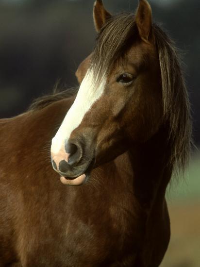 Horse, Chestnut & White Portrait-Mark Hamblin-Photographic Print