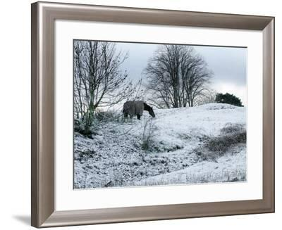 Horse Grazes on a Snow Covered Field in Bearsted in Kent, England--Framed Photographic Print