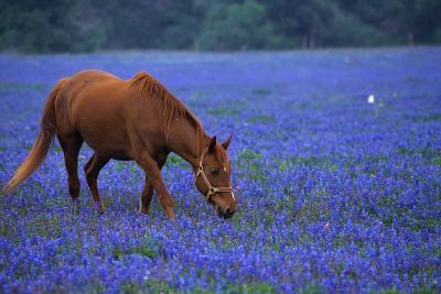 Horse Grazing Among Bluebonnets-Darrell Gulin-Photographic Print