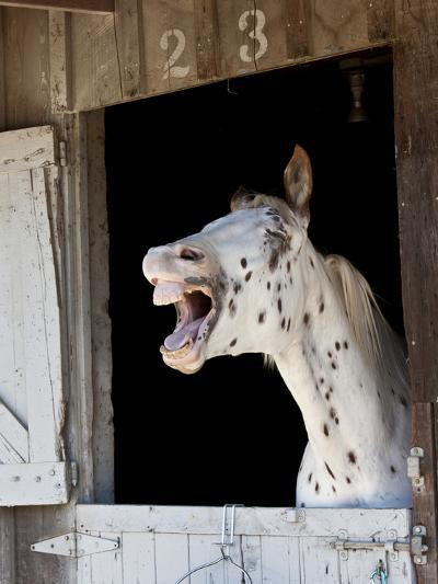 Horse in a Stalllaughing-Nora Hernandez-Photographic Print