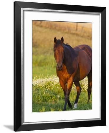 Horse in Pasture Near Pullman, Washington, USA-Chuck Haney-Framed Photographic Print