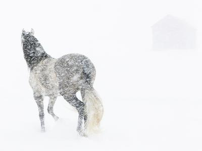 Horse In Snow Storm With Shed In Background, USA-Carol Walker-Photographic Print