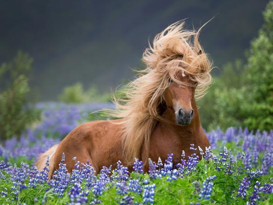 Horse Running by Lupines. Purebred Icelandic Horse in the Summertime with Blooming Lupines, Iceland--Photographic Print