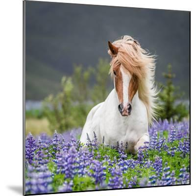 Horse Running by Lupines-Arctic-Images-Mounted Photographic Print