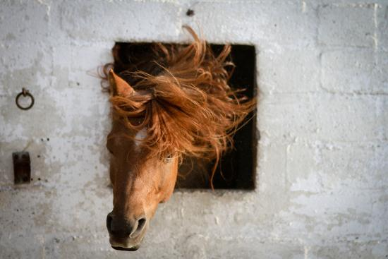 Horse Shaking His Head-Photography taken by Ivan Dupont-Photographic Print
