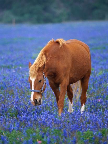 Horse Standing Among Bluebonnets-Darrell Gulin-Photographic Print