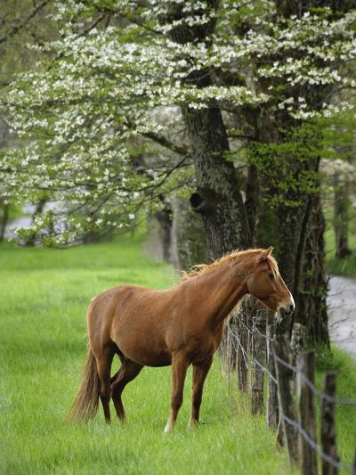 Horse Standing by Fence-William Manning-Photographic Print