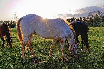 Horses Grazing in a Field, Tewksbury, New Jersey-George Oze-Photographic Print
