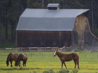 https://imgc.artprintimages.com/img/print/horses-grazing-in-a-pasture-of-dandelions-near-a-barn_u-l-pftcnq0.jpg?p=0