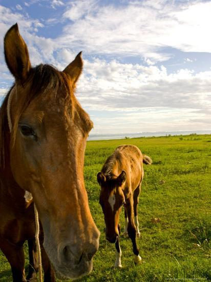 Horses Grazing in Field, Moorea, French Polynesia-Michele Westmorland-Photographic Print