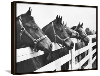Horses Looking Over Fence at Alfred Vanderbilt's Farm-Jerry Cooke-Framed Canvas Print