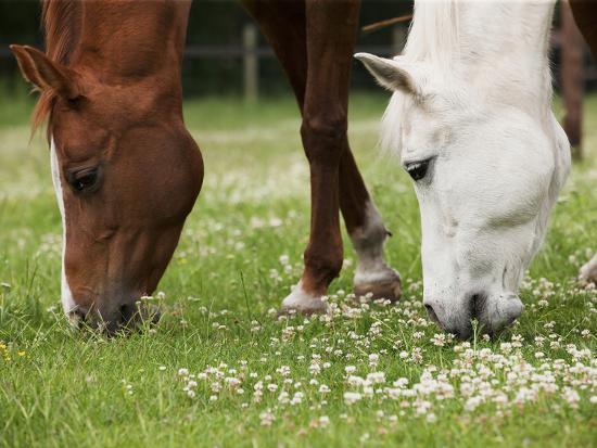 Horses, Meadow, Graze-S. Uhl-Photographic Print