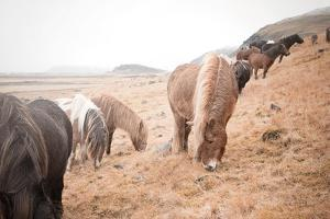 Horses of Hofn II