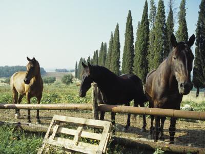Horses on Farm in Siena, Italy--Photographic Print