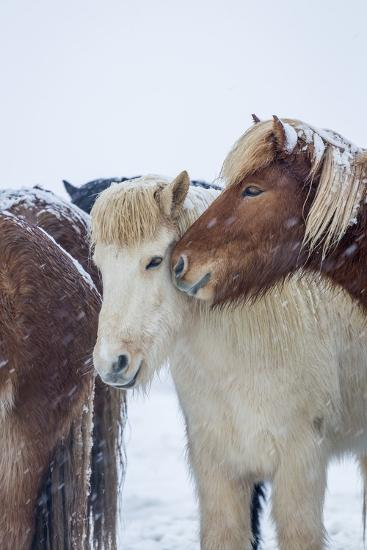 Horses outside during a Snowstorm.-Arctic-Images-Photographic Print