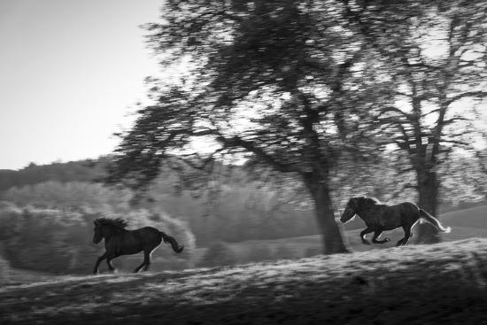 Horses running at sunset, Baden Wurttemberg, Germany-Panoramic Images-Photographic Print