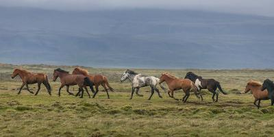Horses Running in the Countryside, Iceland--Photographic Print