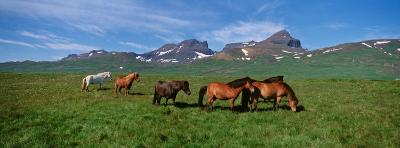Horses Standing and Grazing in a Meadow, Borgarfjordur, Iceland--Photographic Print