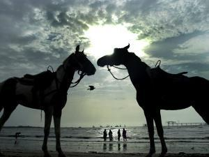 Horses, Used for Joyrides, Stand on the Beach