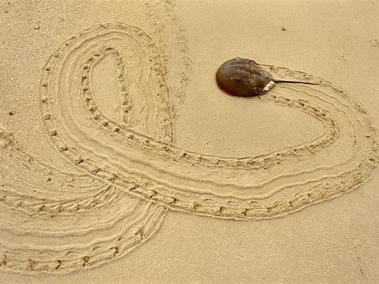 Horseshoe Crab on Beach, Limulus Polyphemus, Delaware Bay, New Jersey-Frans Lanting-Photographic Print