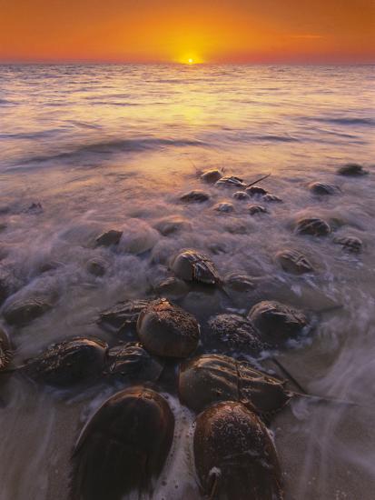 Horseshoe Crabs Spawning, Limulus Polyphemus, Delaware Bay, New Jersey-Frans Lanting-Photographic Print